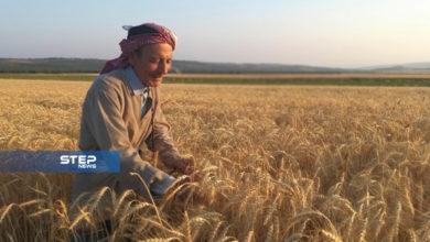 بدء موسم حصاد محصول القمح غرب حلب