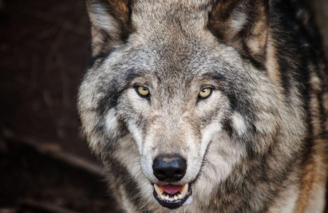 هل يجب أن تخاف من تفسير حلم رؤية الذئب في المنام وكالة ستيب الإخبارية