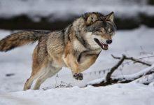 تفسير حلم رؤية الذئب في المنام