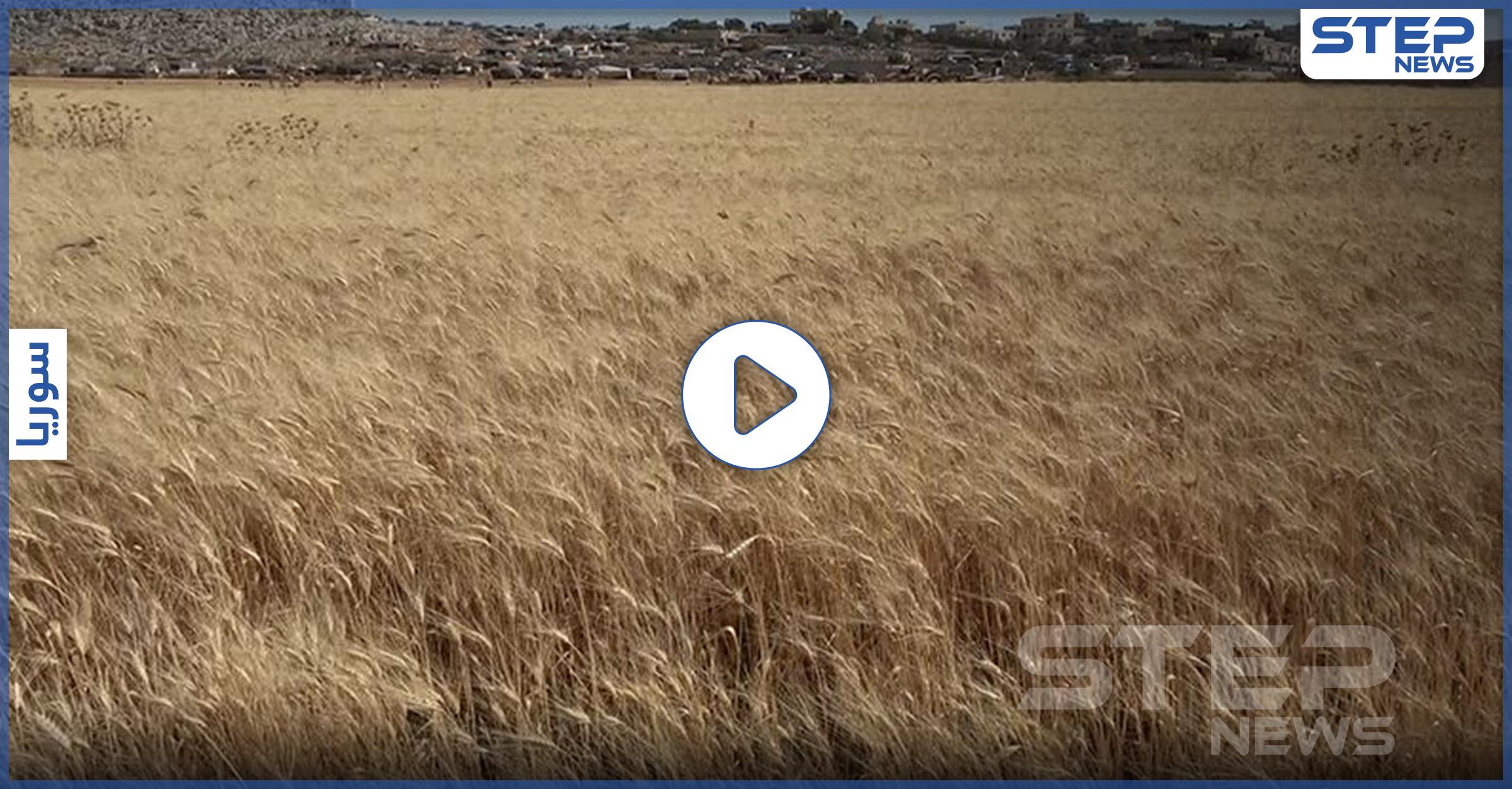عدسة ستيب ترصد بدء موسم حصاد مادة القمح بريف وسط صعوبات يواجهها القطاع الزراعي