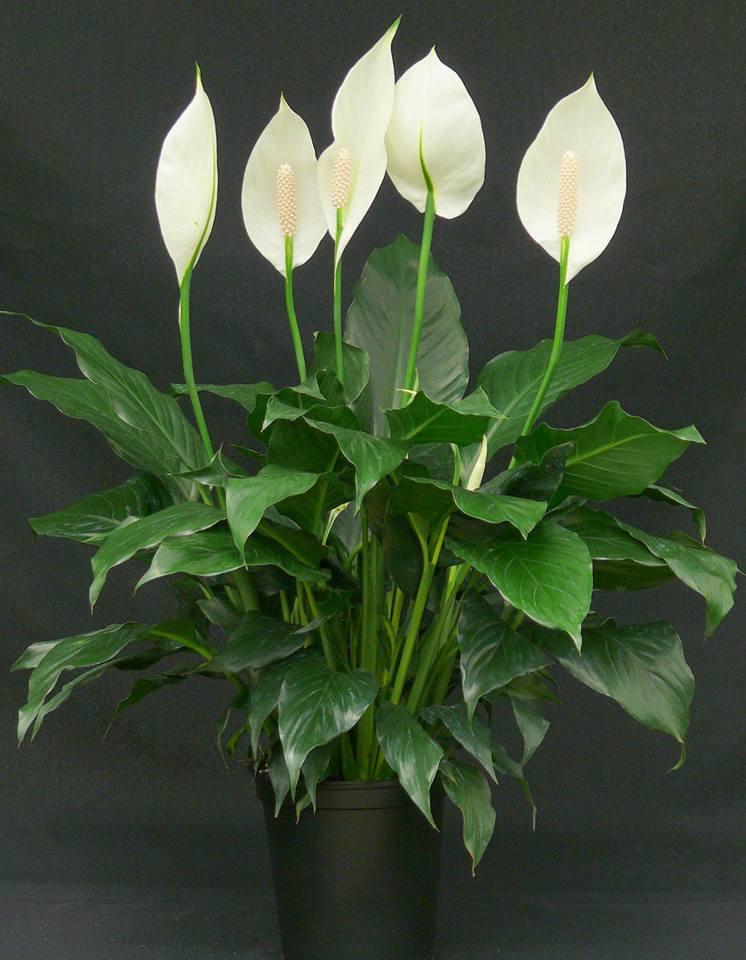 من النباتات المنزلية نبات الأشرعة البيضاء