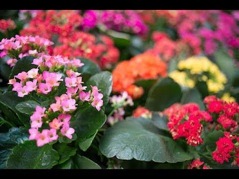 نبات الكلنكوة