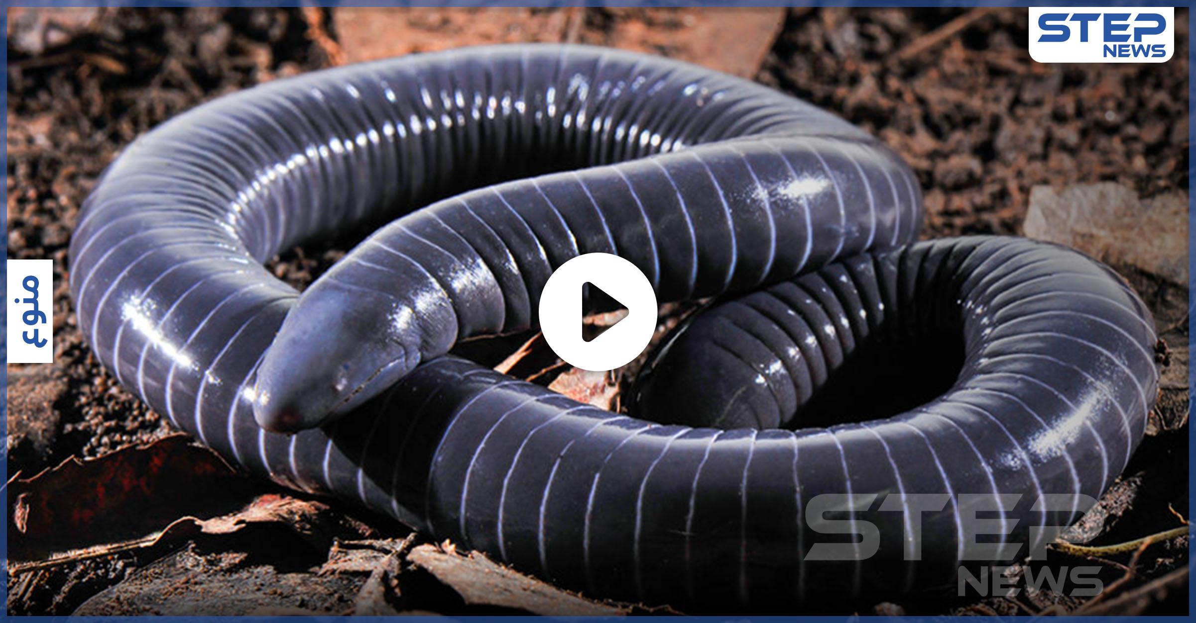 اكتشاف أول حيوان برمائي بأسنان سامة