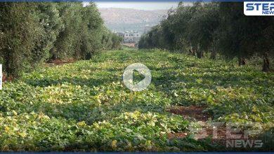 شاهد الصعوبات التي يواجهها مزارعي شمال إدلب أثناء جني المحاصيل الصيفية