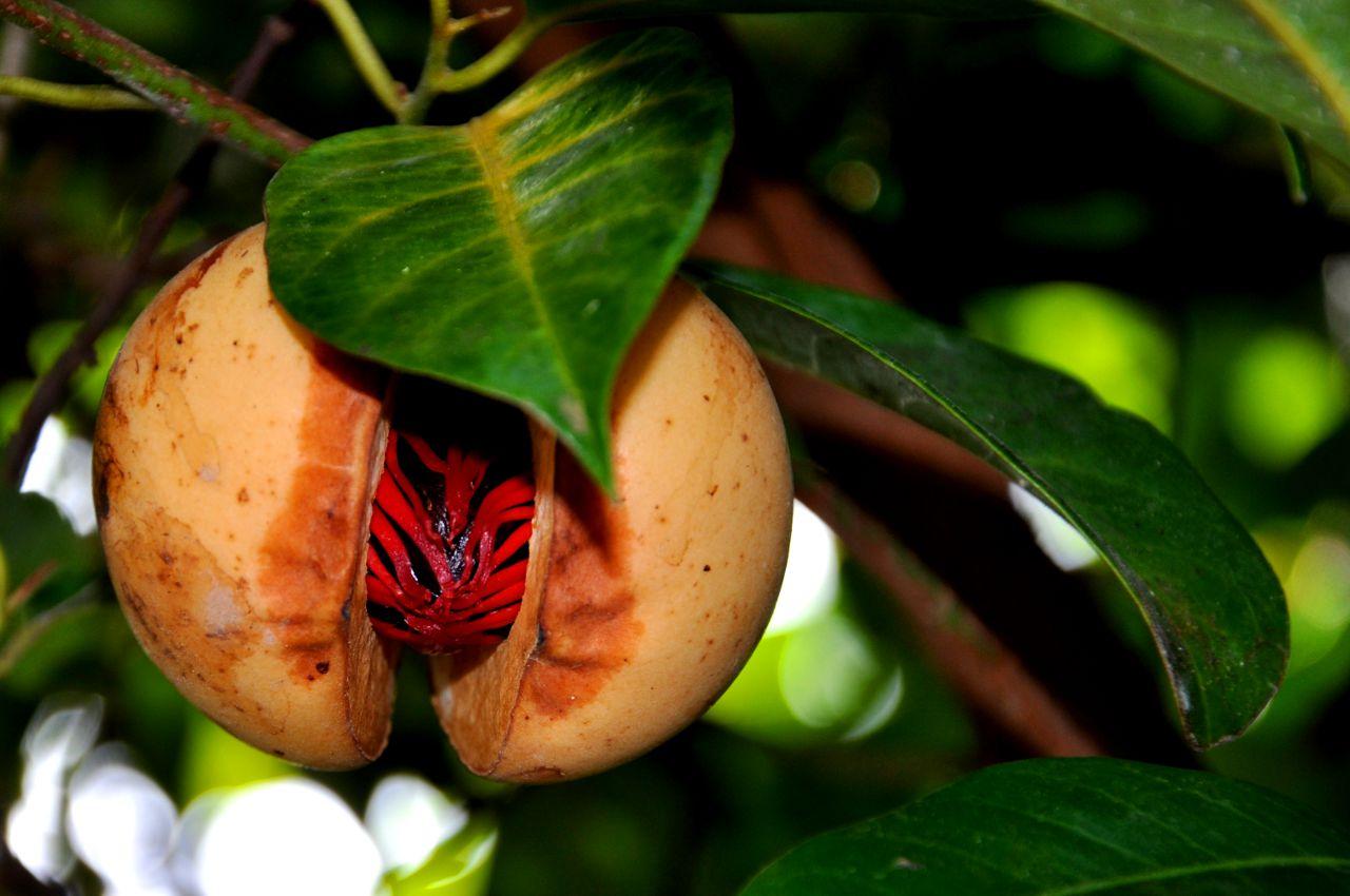 شجرة الكولا المعمرة .. وفوائدها الصحية والعلاجية