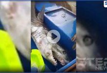 بالفيديو|| هجوم شرس من قبل سمكة قرش على صياد أردني.. والجهات المعنية تكشف نتائج الحادثة