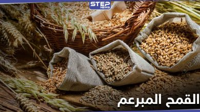 القمح المبرعم ثورة في عالم الغذاء .. فوائده الكثيرة وأسرار استنباته