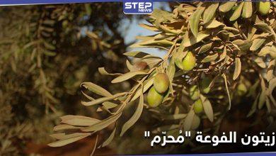موسم الزيتون بالفوعة.. هيئة تحرير الشام تستحوذ وتمنع الأهالي من الاستفادة