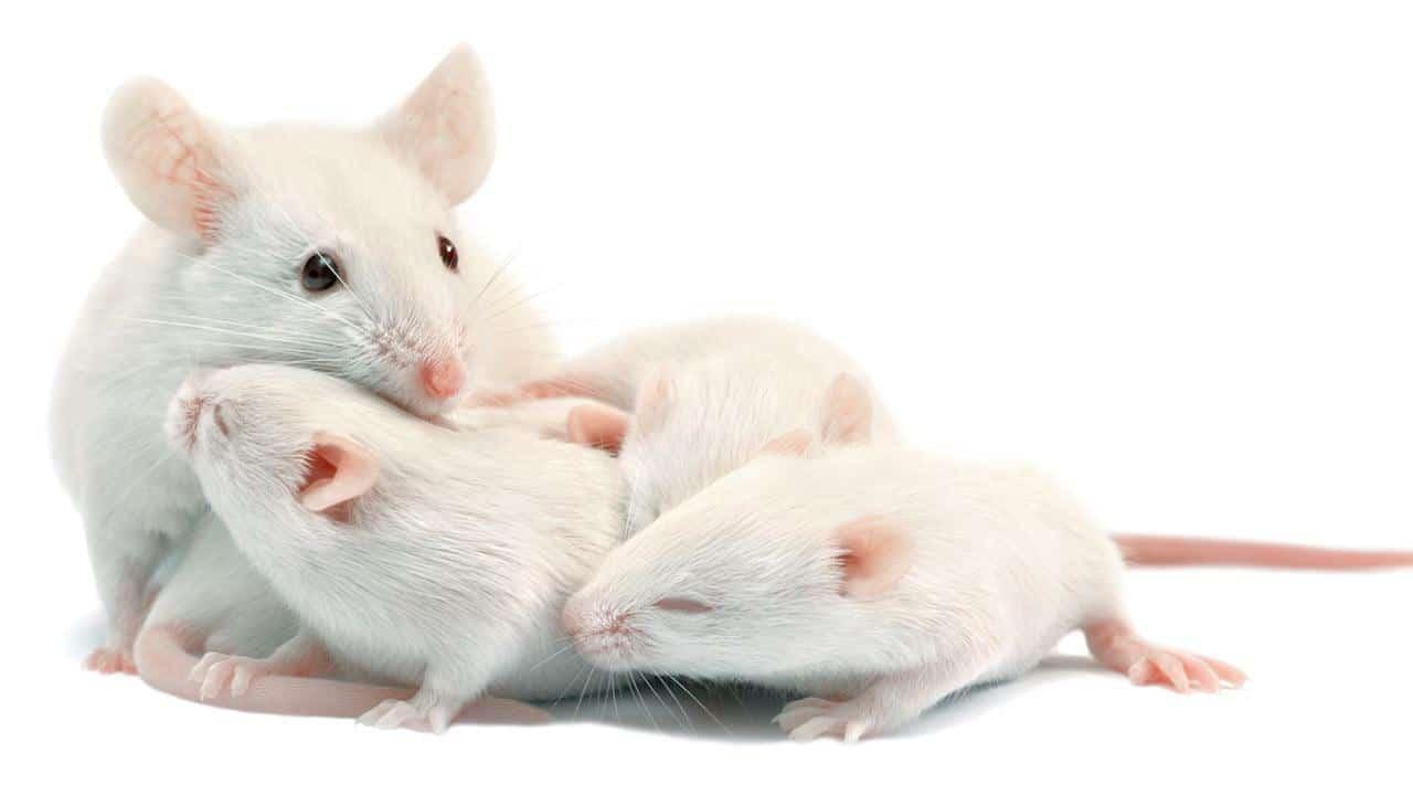 تفسير رؤيا الفأر بالمنام