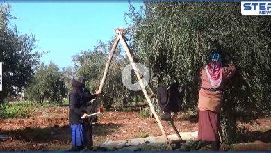 عدسة ستيب ترصد بدء موسم قطاف الزيتون شمال غرب إدلب وسط صعوبات يواجهها مزارعي المنطقة