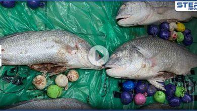 الكويت تعثر على مخدرات محشوة في شحنة أسماك قادمة من إيران (فيديو)
