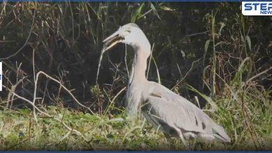 بالفيديو|| مشهد نادر.. طائر يأكل تمساحا صغيرا ويبتلعه بالكامل قرب إحدى بحيرات فلوريدا