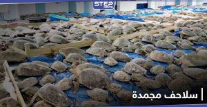 تكساس.. متطوعون ينقذون آلاف السلاحف البحرية من خطر التجمد أنثاء العاصفة