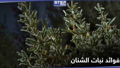 نبات الشنان صيدلية تقدمها لنا الطبيعة