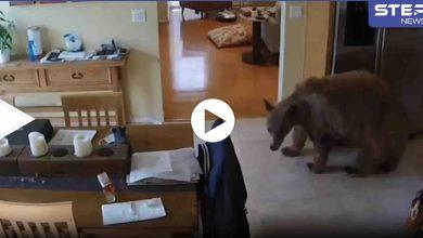 بالفيديو|| كلاب صغيرة تلاحق وتطرد دب ضخم دخل منزل رجل أمريكي وبدأ يتجول بداخله