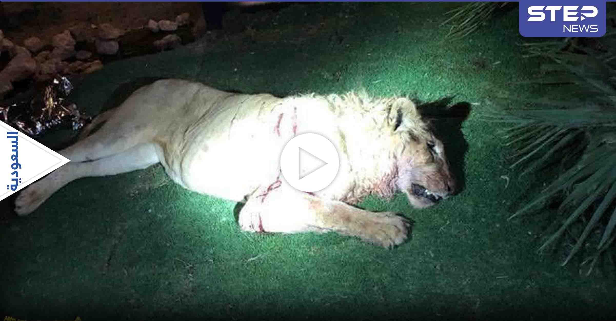 """هاشتاغ """"أسد يقتل شاب"""" يتصدر الترند في السعودية.. بعد قيام المفترس بإنهاء حياة صاحبه (فيديو)"""