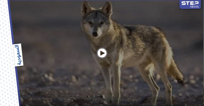 human wolf 212062021