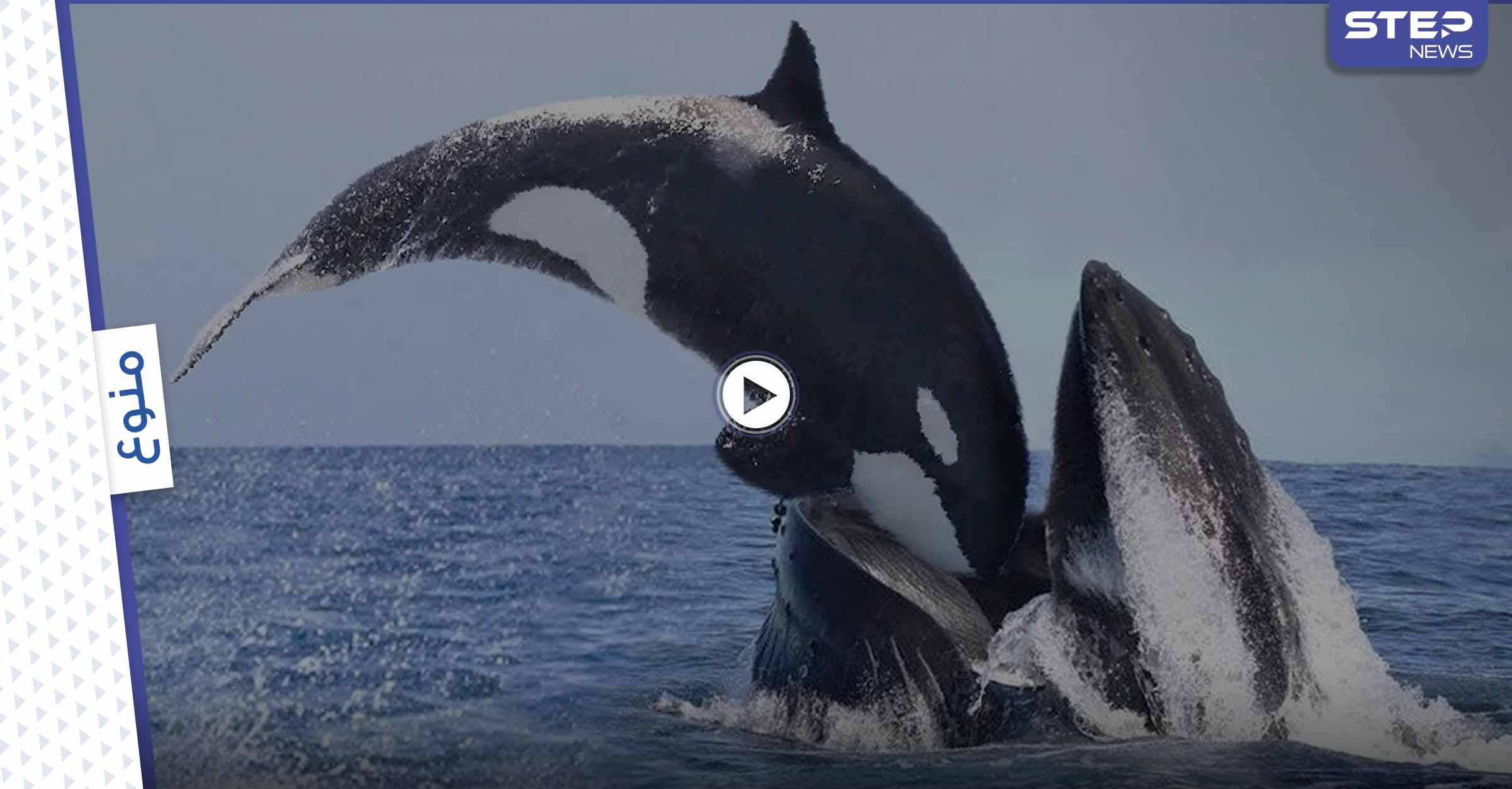 """بالفيديو   نشطاء يوثقون بكاء واستنجاد مؤلم لــ """"سفاح المحيط"""" حوت أوركا القاتل بعد انجرافه على الساحل"""