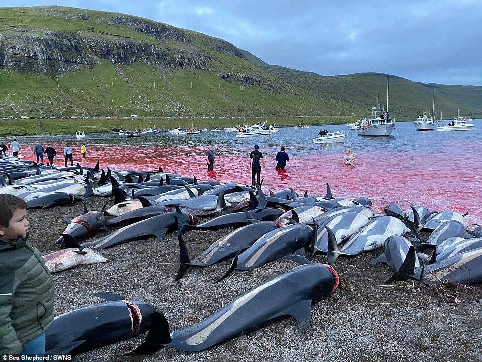 بحادثة فريدة.. صيادون ينحرون 1428 دلفيناً دفعة واحدة ويحولون لون البحر للأحمر (فيديو)