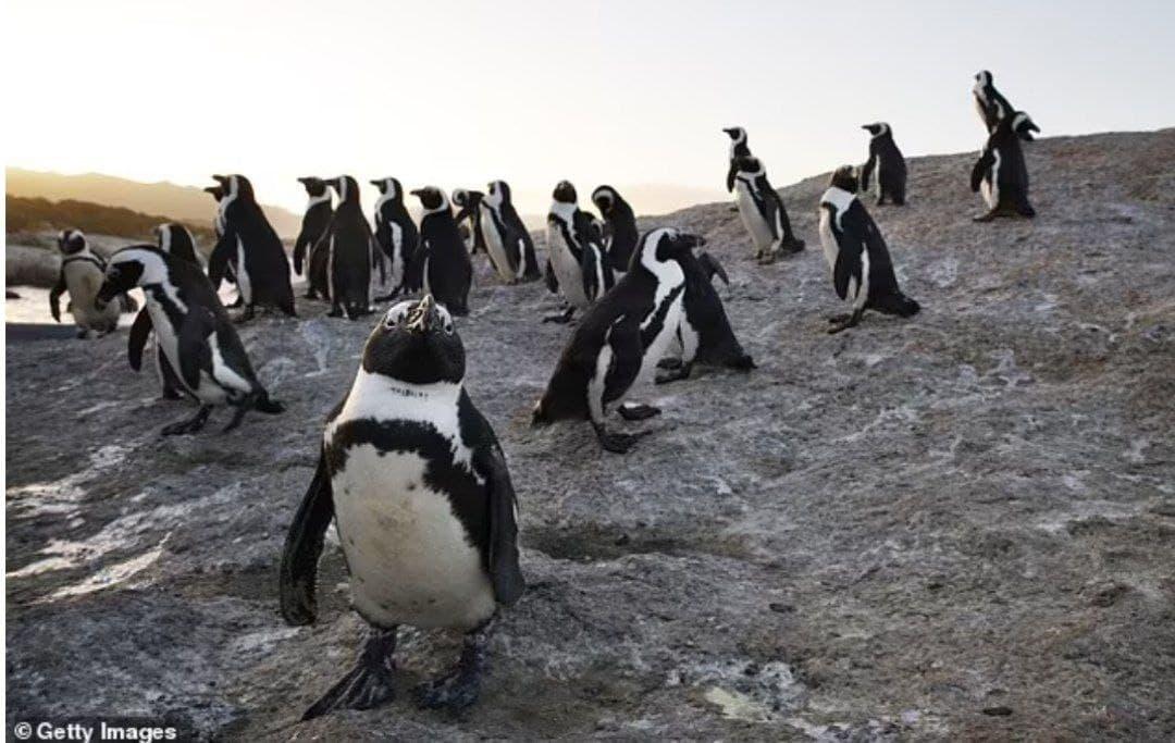 شاهد|| النحل يقتل أكثر من 63 طائر من طيور البطريق المهددة بالانقراض في جنوب إفريقيا